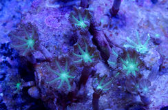 Clove Polyp coral. A detail of a clove polyp coral underwater in the sea Stock Photo