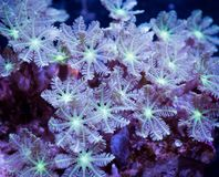 Clove polyp coral. A clove polyp coral underwater Royalty Free Stock Photos