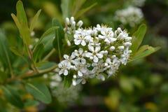 Cloven gum box. White flowers - Latin name - Escallonia bifida stock image