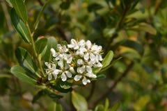 Cloven gum box. White flower buds - Latin name - Escallonia bifida royalty free stock photography