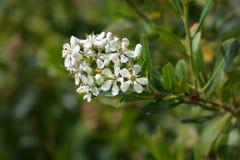 Cloven gum box. White flower buds - Latin name - Escallonia bifida stock image