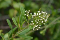 Cloven gum box. White flower buds - Latin name - Escallonia bifida royalty free stock photography