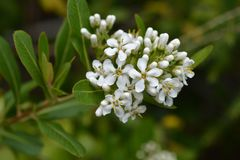 Cloven gum box. White flowers - Latin name - Escallonia bifida royalty free stock photo