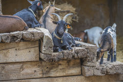 Cloven-hoofed animals in the zoo Stock Images