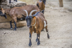 Cloven-hoofed animals in the zoo Stock Photo