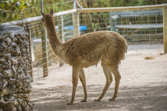Cloven-hoofed animals in the zoo Stock Image