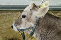 Cloven-hoofed pet. Cattle, young gray cow in close proximity to the stall Stock Photos