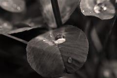 clover arkivfoton