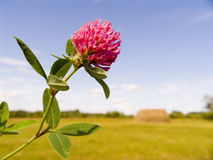 Clover. Flower clover close up Royalty Free Stock Image