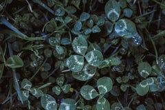 clover royaltyfri fotografi