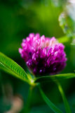 Clover. Summer juicy clover bright paints hot day Royalty Free Stock Photography