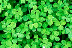 Clover. Is symbol of Saint Patrick's Day in Ireland Stock Photos
