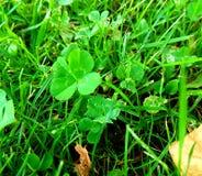 clover royaltyfria foton