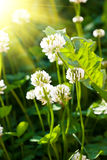 Clover. White flowers clover in sky light stock photography