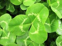 clover Royalty Free Stock Photos