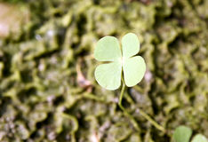 Clover. A single four leaf clover in field Royalty Free Stock Image
