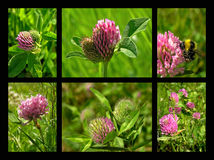 Clover. Red clover Royalty Free Stock Images