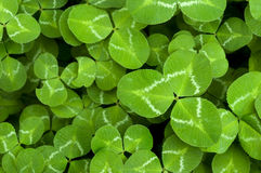 Free Clover Stock Image - 15020541
