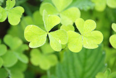 Clover. Green leaves clover. close-up royalty free stock photography