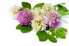 Clover. Royalty Free Stock Photography