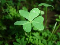Clover. Green Three Leafs Clover Close up royalty free stock photography