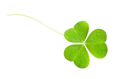 A clover Stock Image