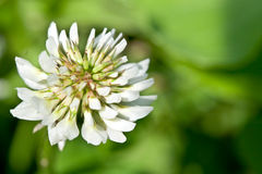 Clover. White clover on a green background royalty free stock photos
