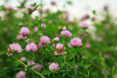 Clover. Pink flowers of clover on a summer meadow Stock Photos