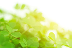 Clover. Closeup during sunrise or sunset. Very shallow focus stock images