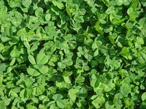 Clover. Green clover lawn texture, background Stock Photography