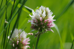 Clover. Royalty Free Stock Images