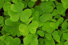 Clover. Background from green clover leaf Royalty Free Stock Image