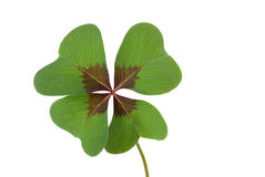 Clover. Four-leaved clover-leaf luck symbol Stock Images