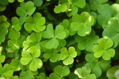 Clover. Green clover leaf in a garden royalty free stock image