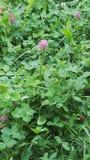 clover royaltyfri bild
