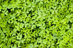 Clover. All around Stock Images