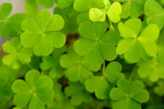 Clover. Close up of clover leaves for backgrounds stock image