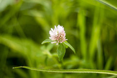 Clover. Amazing clover on a gentle green background Stock Photos