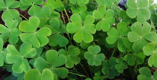 Green clover background. Fresh green clover background texture stock photos