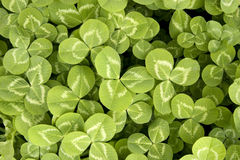 Clover background Royalty Free Stock Image