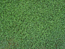 Clover Background. A dark green patch of clover provides a background for St. Patrick's Day images royalty free stock images