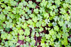 Clover background. Green clover background Stock Photos