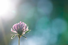 Clover on background bright sun. Royalty Free Stock Images