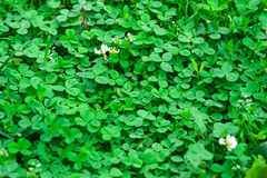 Clover background Royalty Free Stock Images