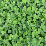 Clover. Stock Images