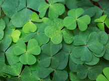 Clover background. Royalty Free Stock Photography