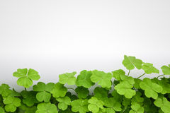 Clover background. Clover with white background ,blank place can copy your document royalty free stock image