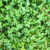 Clover Backgrounds. Beautiful clover backgrounds wet and drops royalty free stock images
