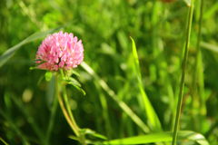 Clover. Beauty is in the ordinary things Royalty Free Stock Photos