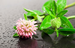 Clover on a black background with water drops Royalty Free Stock Photo